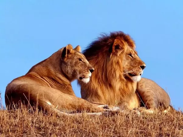 how does a lion and a lioness differ quora