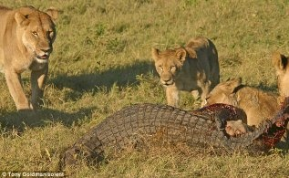 Pare Nile Crocodile Vs Salt Water African Lion Hyenas