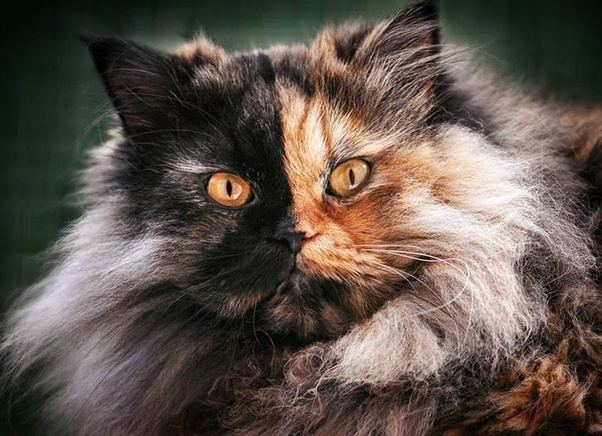 Are Long Haired Calico Cats Rare Quora