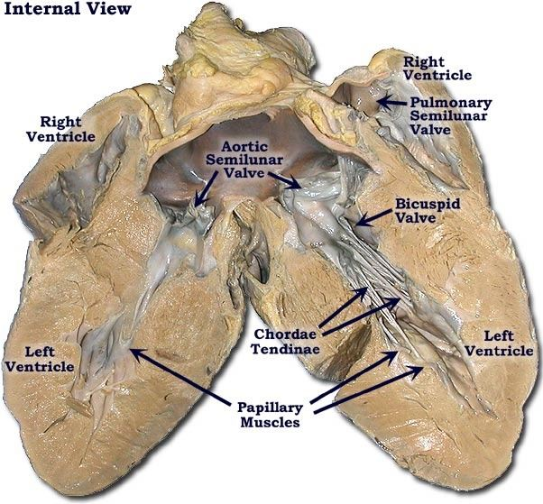 How would you label the structures both external and for Exterior of heart diagram