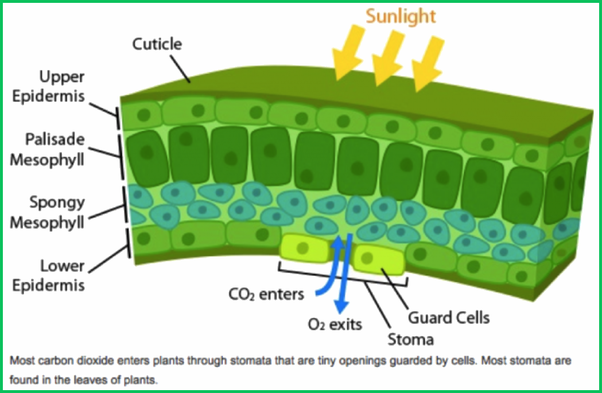schematic of gas exchange across plant stomata (originally uploaded in  integrate: teaching for sustainability):