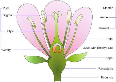 What are the four main parts of a flower quora 1rollapetals ccuart Gallery