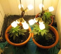 Can I Grow Cannabis With A Regular Fluorescent Lamp Quora