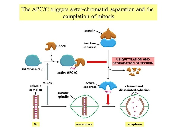 What is the difference between anaphase 1 of meiosis and the in anaphase due to apcc activation leads to destruction of securin separase activation and cohesion cleavage along the length of the chromosome ccuart