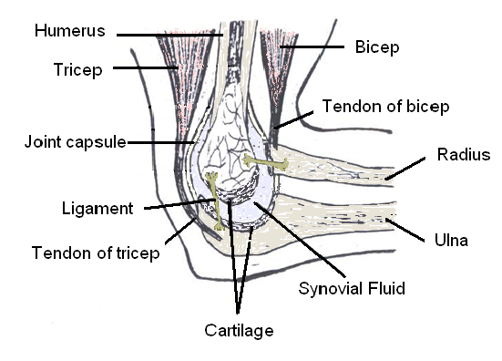 What Is The Bone In Your Elbow Called Quora