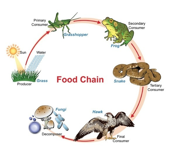 What Is The Proper Layout Of A Food Chain