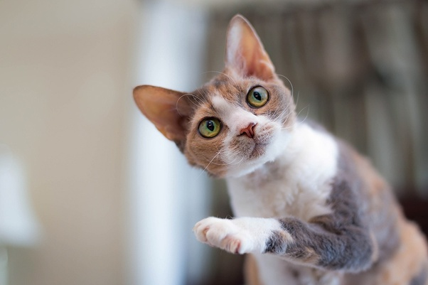 What does a dilute calico look like? - Quora
