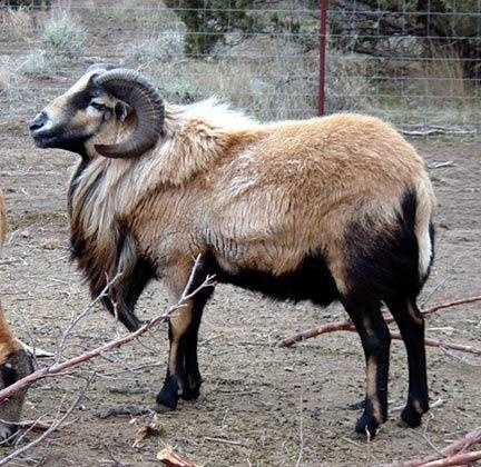 What were wild sheep ancestors like before they were