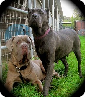 What Are The Main Differences Between A Cane Corso And A Neapolitan