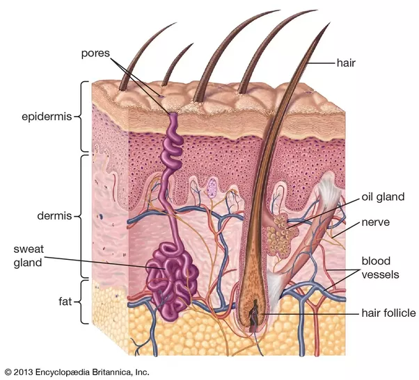 Is it true that hair is a natural extension of the nervous system but you can still feel when someone brushes your hair so whats up with that there are nerves all around the hair follicles in the skin ccuart Choice Image