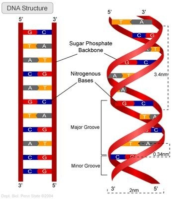 How Is The Double Helix Structured In Dna Quora
