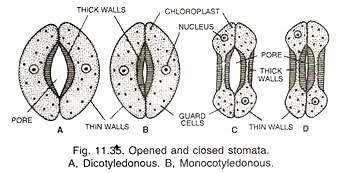 What is the difference between TS of Monocot Leaf and TS ...