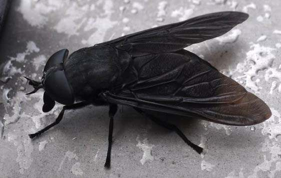 most horse flies are associated with water and the carnivorous larvae can be found therein i have collected black horse fly larvae while searching through