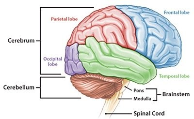 What are the 3 parts of the brain quora brains general anatomy ccuart Images
