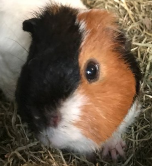 What's your guinea pig daily routine? - Quora
