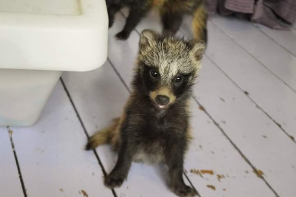 Are raccoon dogs real? I saw the article on Google and it