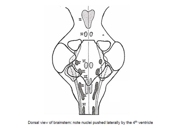 Neuroanatomy How Do You Study Brainstem Anatomy In An Efficient Way