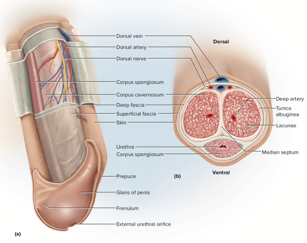 Why Are Mammalian Male Reproductive Organs So Much Simpler -5785