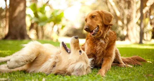Where Can I Get A Golden Retriever Puppy In Delhi India Quora