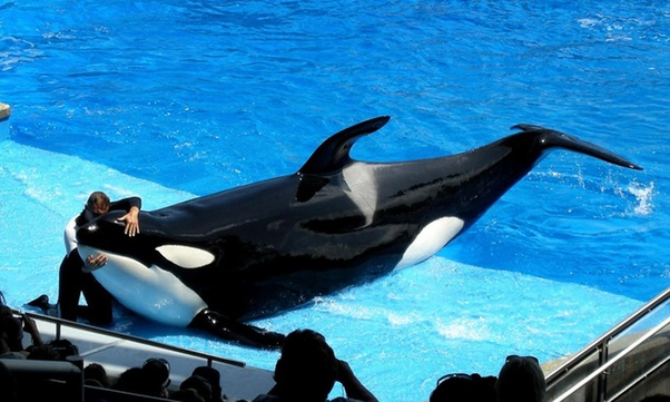 Why Won T Orcas Eat A Human Quora