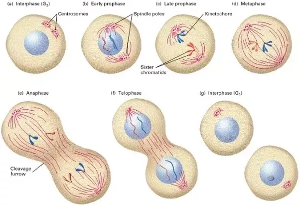 What Are The Stages Of A Cells Cycle In Natural Order Quora