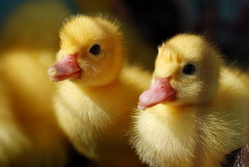 Why are rubber ducks yellow? - Quora