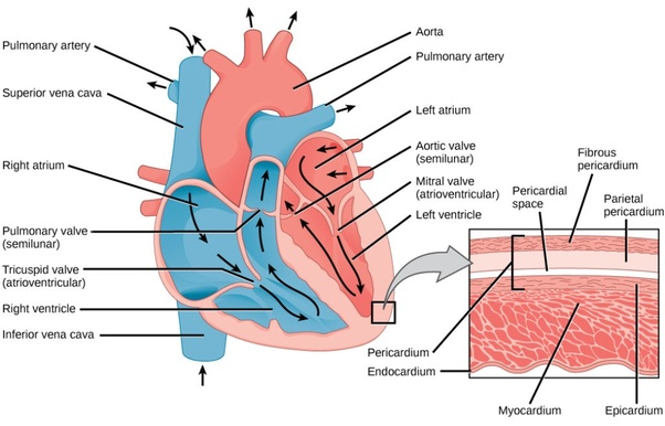 What Is The External Structure Of The Human Heart Quora