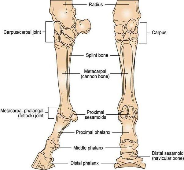 Diagram Of Horse In Leg Bone - Information Of Wiring Diagram •