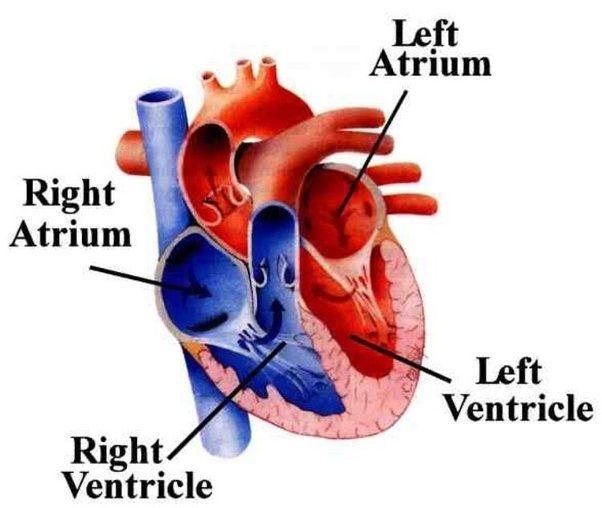 Why is the wall of left ventricle thicker than the wall of right hope that helps ccuart Choice Image