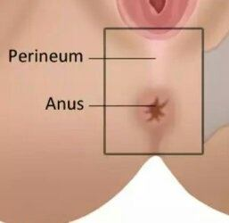 Region between anus and genitals