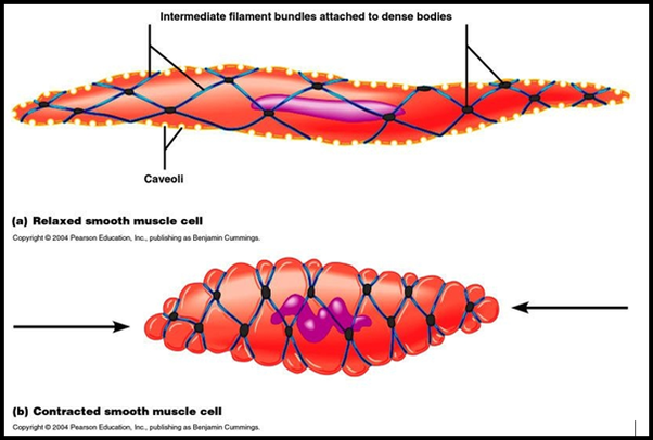 What does a smooth muscle cell structure look like? - Quora