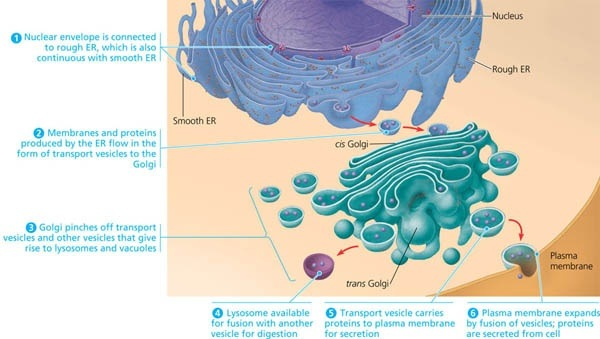 How is the endomembrane system of a cell comprised? - Quora