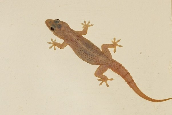 The Chipkali Seems To Be Hemidactylus Frenatus Common House Gecko