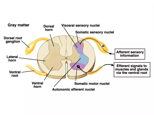 What is the function of an afferent nerve quora just how the cns relates to the pns and its subdivisions whereas the second shows the anatomical makeup of the spinal cord the reflex arc is probably ccuart Gallery