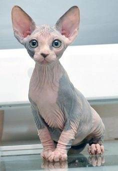 Why do people classify Sphynx cats as one of the ugliest