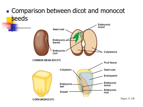 What are dicots quora examples of dicot plants pea almonds peanuts common bean and lentils etc if you take a single seed you can see that it can be split into 2 halves ccuart Image collections