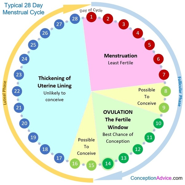 How Long Do Periods Last? | Days Between Cycles