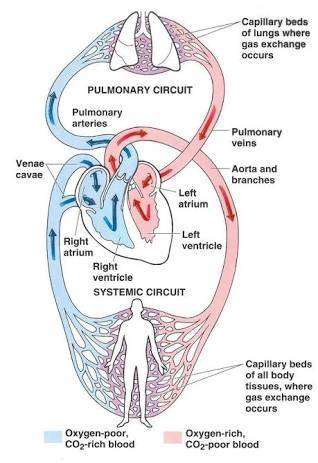 What function does the right side of the heart serve quora this blood gets oxygenated and is sent back into the left side of the heart from where its pumped to the r the body and the cycle continues ccuart Image collections