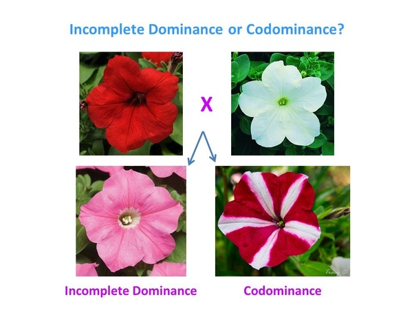 What are the similarities between incomplete dominance and ...