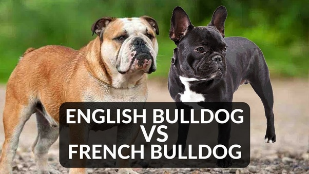What Is The Difference Between An English Bulldog And A French Bulldog Quora