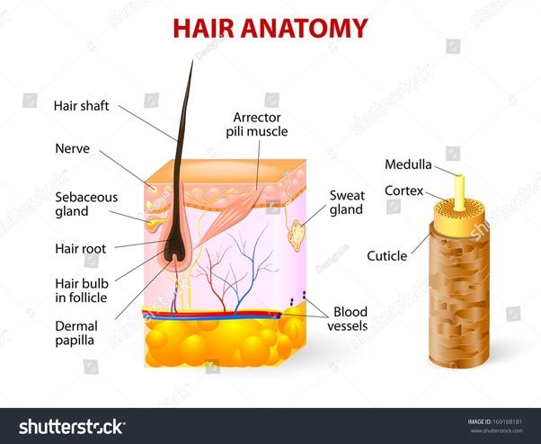 Parts Of Hair Diagram Electrical Work Wiring Diagram
