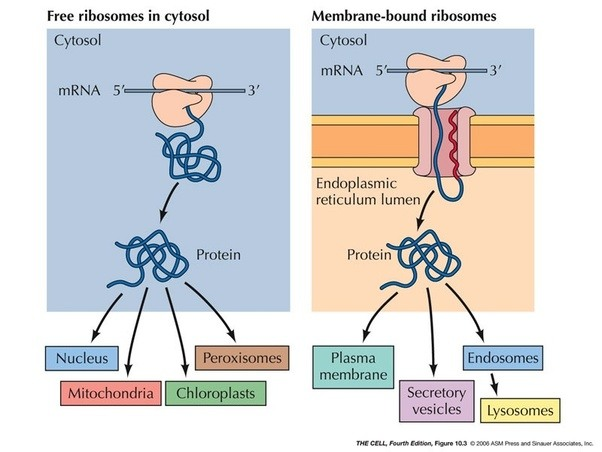 How Do Ribosomes Work With Other Organelles Quora