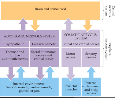 How Are Spinal Nerves And Cranial Nerves Different From