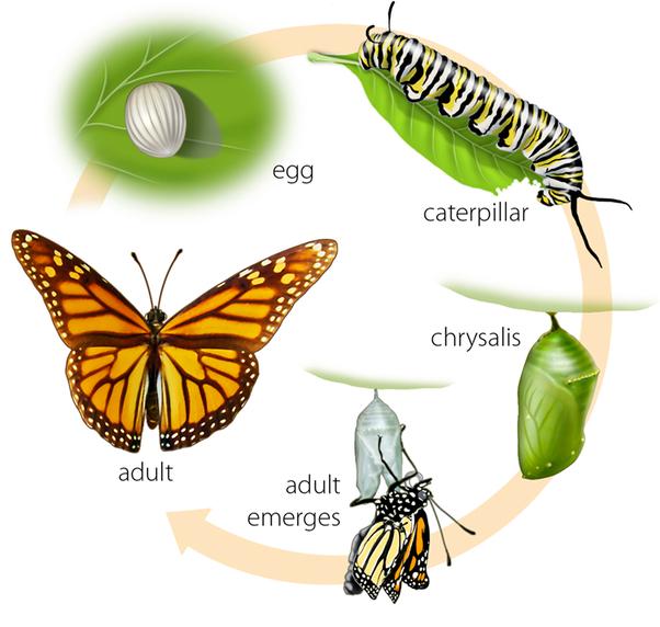 do caterpillars lay eggs quora rh quora com Caterpillar Changing into a Butterfly Cocoon Clip Art
