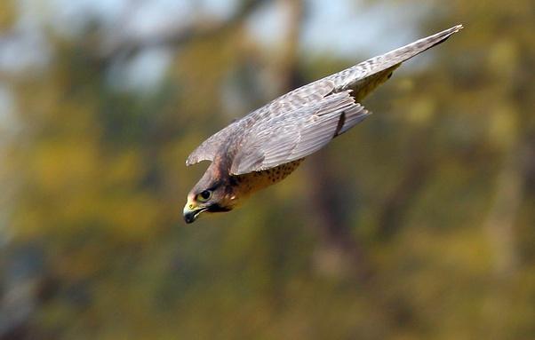 Mengapa Burung Kutilang Dianggap Merusak Suara Burung Kicauan Yang Lain Sehingga Jarang Orang Yang Memelihara Bahkan Tidak Begitu Laku Di Pasaran Quora