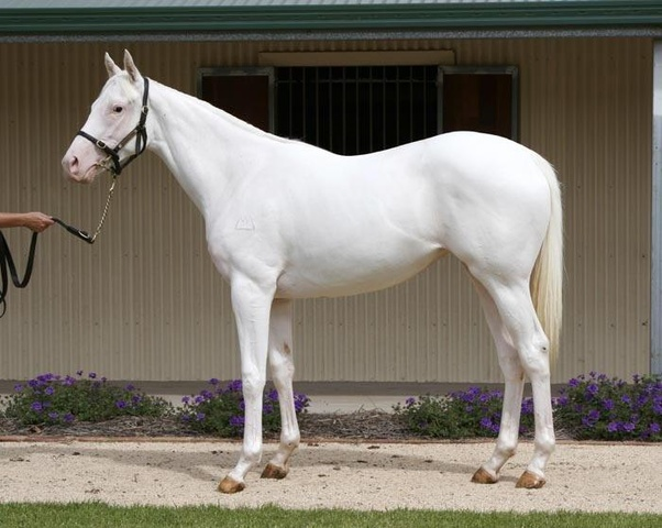Thoroughbred White breed pictures pictures
