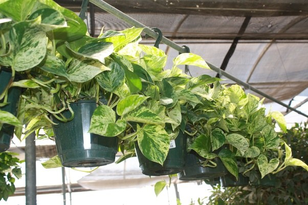 what are some fast growing indoor plants quora. Black Bedroom Furniture Sets. Home Design Ideas