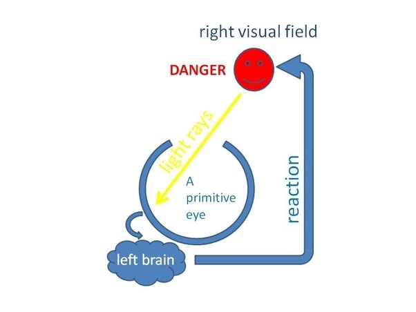 Why are so many brain pathways crossed, and when did ...