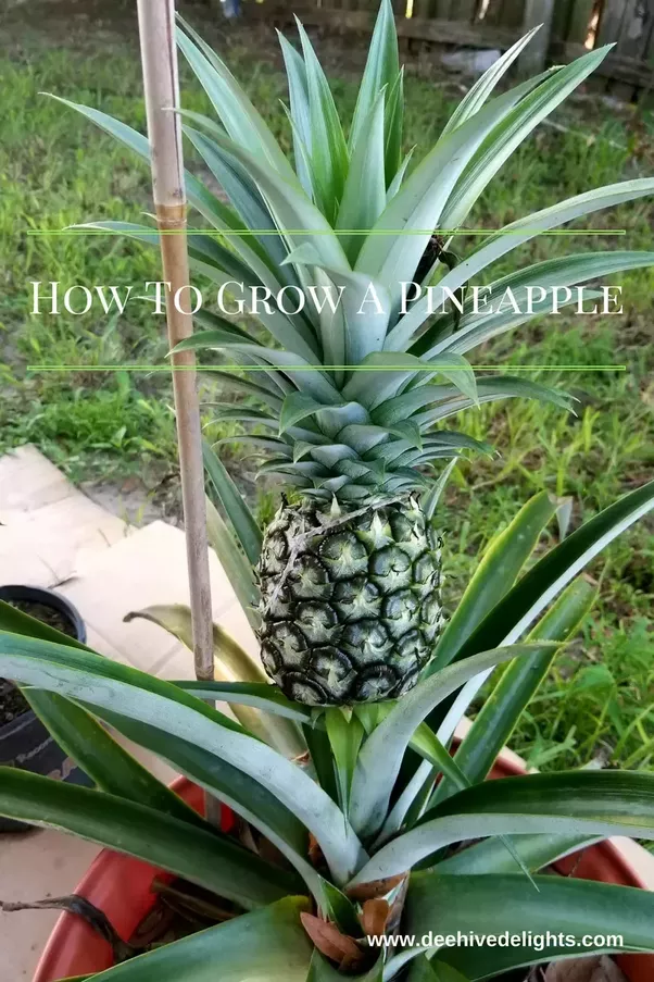 Where Do You Think You Re Going By Dire Straits: Do Pineapples Grow On Trees?