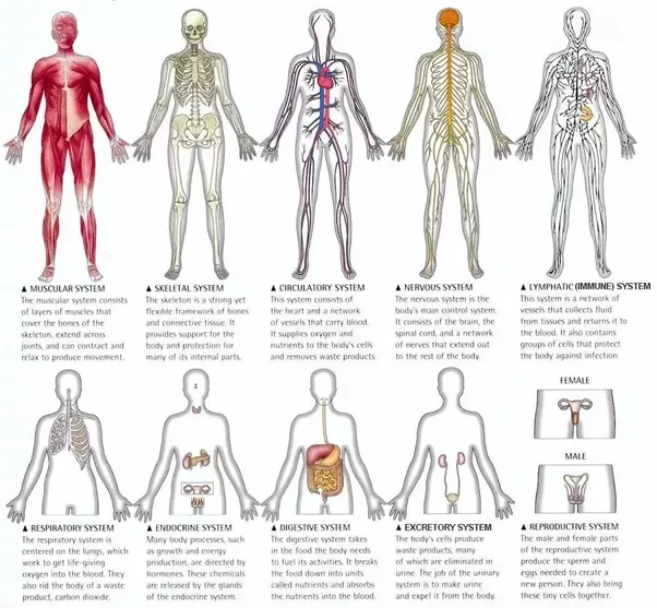Which Group Of Organs Works Together To Carry Out A Specific